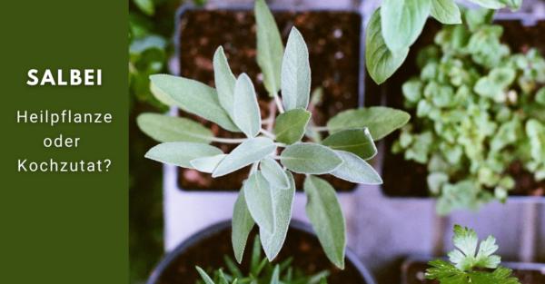 Salbei ist nicht nur Bestandteil der feinen Küche, sondern auch Teil der Naturheilkunde.