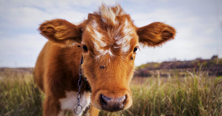 Die Kuh gibt Milch – doch ist das wirklich gesund?